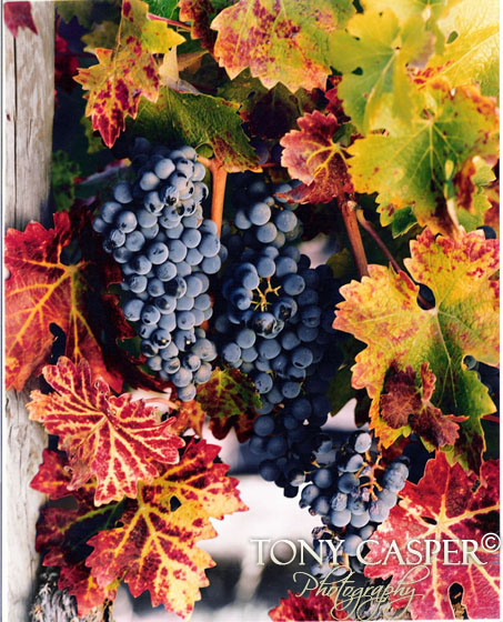 Cabernet Vines