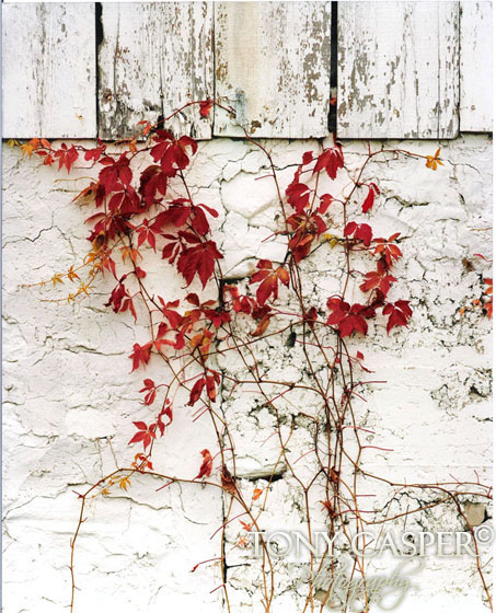 Red Ivy Wall